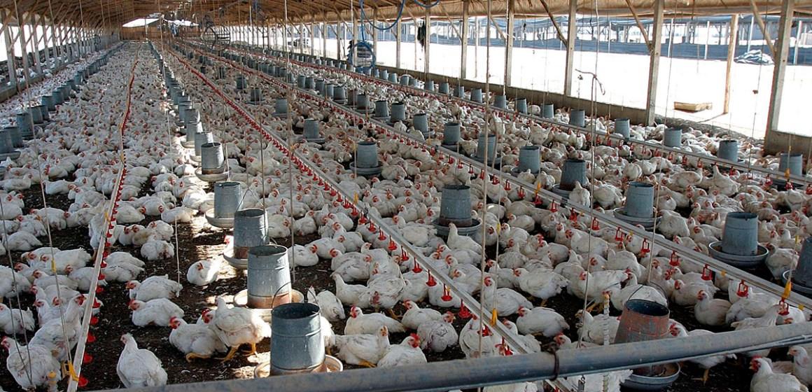 Conozca qué medidas realiza nuestra industria avícola para garantizar la calidad de su producción