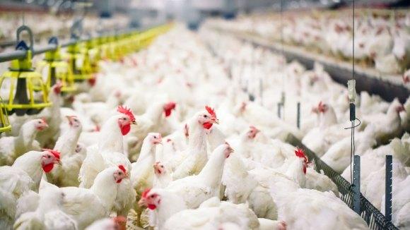 Prevención del estrés por calor en las aves de corral