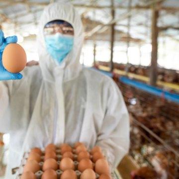 El correcto manejo de la nutrición y el peso de las ponedoras es una parte esencial para lograr el tamaño correcto del huevo.