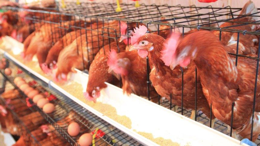 Alimentar con selenio a ponedoras de huevos sometidas a estrés por calor