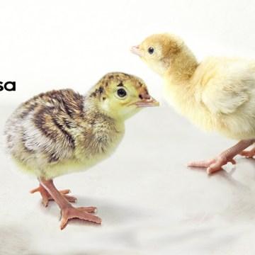Grupo Isamisa inicia su campaña de pavos bbs 2021