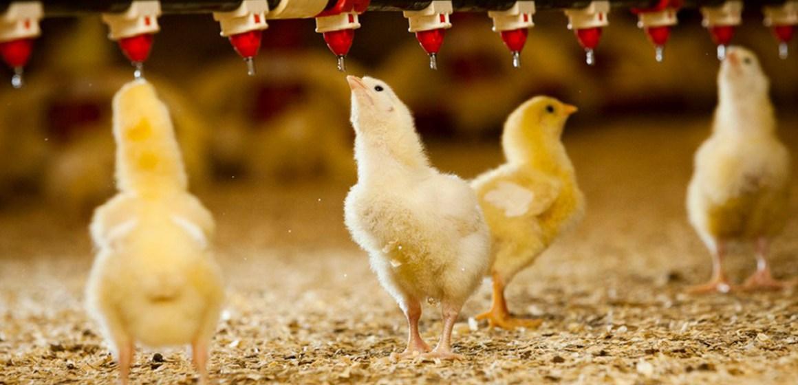 Cinco claves para el manejo de agua en la avicultura