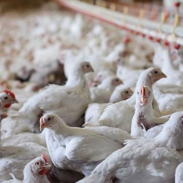 Productores avícolas en Paraguay apuntan a exportar a Taiwán