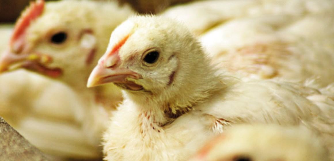 Diagnóstico diferencial en enfermedades digestivas en avicultura