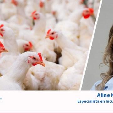 Incubación: cuidados y atención a los pequeños detalles ayudan a alcanzar el mejor rendimiento del pollo