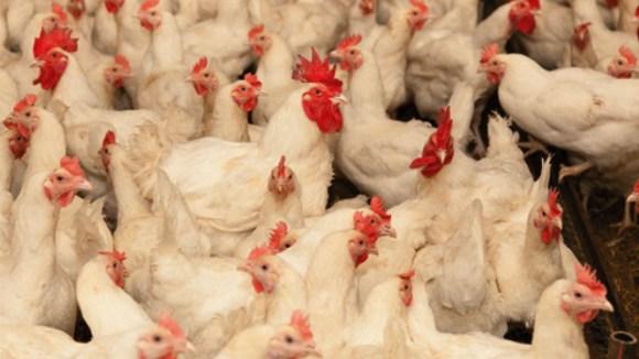 Recomendaciones nutricionales para mejorar eficiencia productiva y económica ante el incremento de precios de ingredientes alimenticios en la industria avícola (Parte 1)