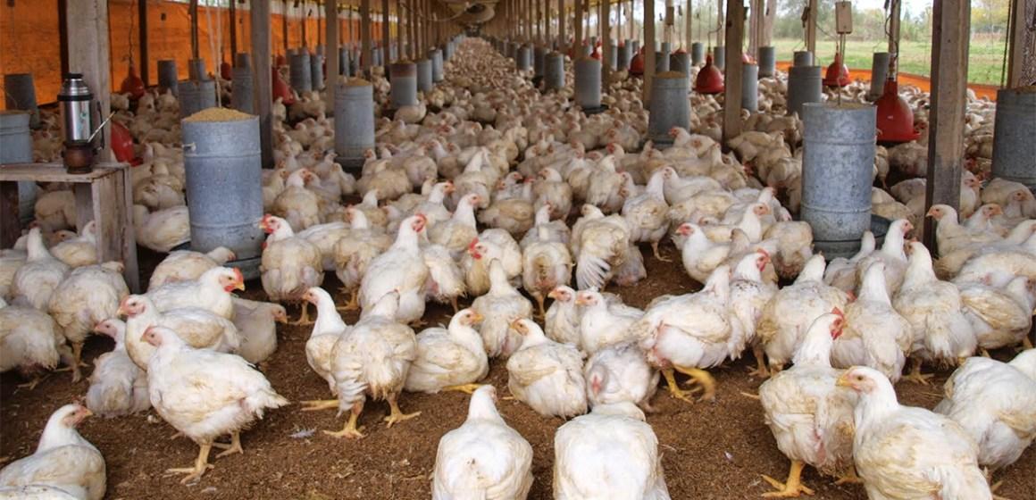 Gobierno español aprueba una nueva reglamentación de granjas avícolas