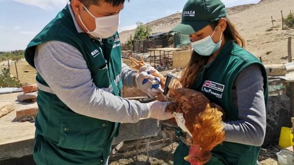 Vacunación de aves de crianza familiar avanza de manera sostenida para proteger sustento de pequeños productores