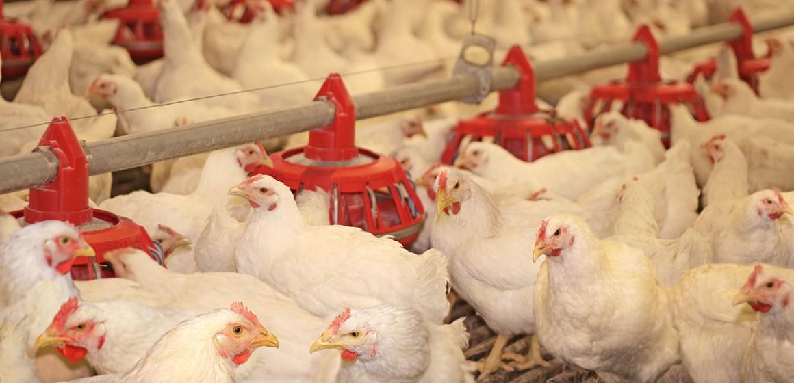 Sector avícola crece 2% en junio, por segundo mes consecutivo, según Midagri