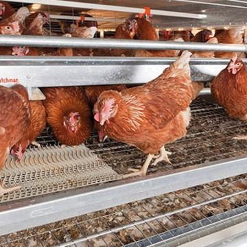 Disbiosis intestinal: Entendiendo el origen de las patologías y atipias más frecuentes en avicultura