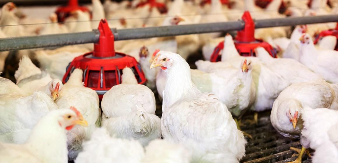 Nutrición avícola