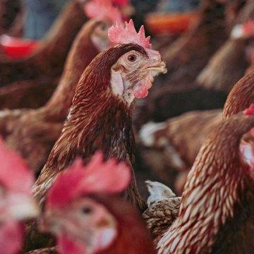 Evaluación de la edad al despique en pollas de postura en la etapa de levante