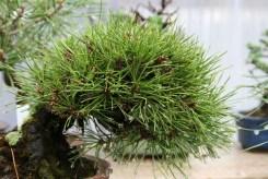 Bonsai san 11 - pinus thunbergii