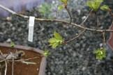 Bonsai san 19 - quercus - chêne