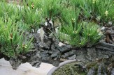 Bonsai san 26 - pinus thunbergii corticosa