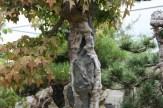 Bonsai san 38 - acer buergeranium sur roche
