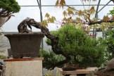 Bonsai san 03 - pinus thunbergii semi-cascade