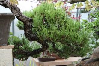 Bonsai san 42 - pinus thunbergii