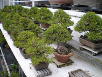 nipoweb - taisho en - urushibata bonsai