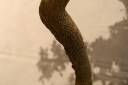selection régionale EST 2012 - bonsai buis écorce