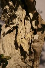 selection régionale EST 2012 - bonsai buxus 5
