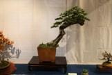 selection régionale EST 2012 - bonsai epicea 1