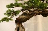 selection régionale EST 2012 - bonsai epicea 3