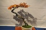 selection régionale EST 2012 - bonsai fagus 1