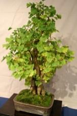selection régionale EST 2012 - bonsai ginkgo biloba 3