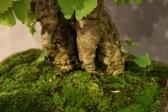 selection régionale EST 2012 - bonsai ginkgo biloba nebari 1