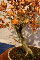 selection régionale EST 2012 - bonsai hetre 1