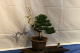 selection régionale EST 2012 - bonsai junip 1