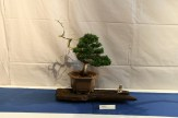 selection régionale EST 2012 - bonsai junip 3