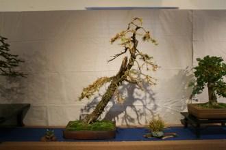 selection régionale EST 2012 - bonsai larix 1