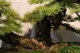 selection régionale EST 2012 - bonsai mélèze sur lauze 2 nebari