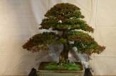 selection régionale EST 2012 - bonsai orme de chine 1