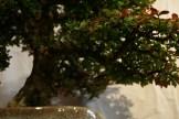 selection régionale EST 2012 - bonsai orme de chine 4