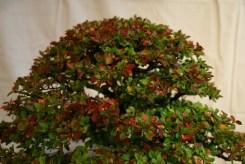 selection régionale EST 2012 - bonsai orme de chine 7