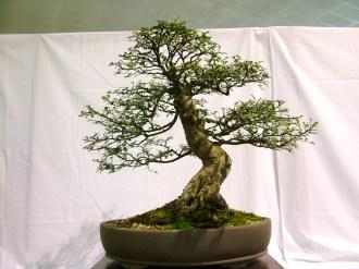 selection rhone alpes bonsai 2012 100