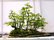 selection rhone alpes bonsai 2012 106