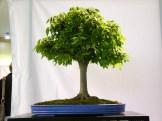 selection rhone alpes bonsai 2012 108