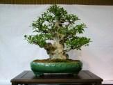 selection rhone alpes bonsai 2012 109