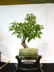 selection rhone alpes bonsai 2012 111