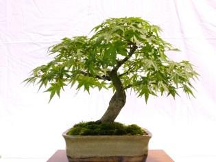 selection rhone alpes bonsai 2012 115
