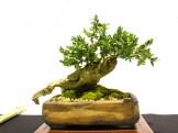 selection rhone alpes bonsai 2012 116