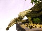 selection rhone alpes bonsai 2012 117