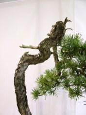 selection rhone alpes bonsai 2012 122