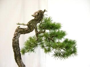 selection rhone alpes bonsai 2012 123