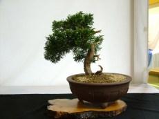 selection rhone alpes bonsai 2012 125