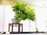 selection rhone alpes bonsai 2012 16